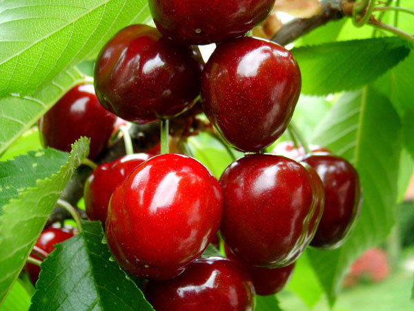 cay-giong-cherry-1